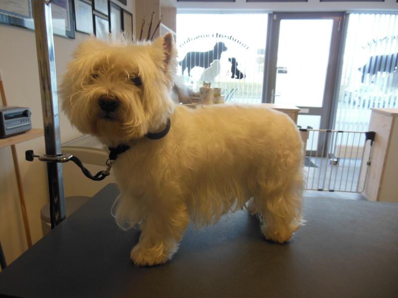 West Highland White Terrier  - © Trimsalon Mirjam Kloppenburg
